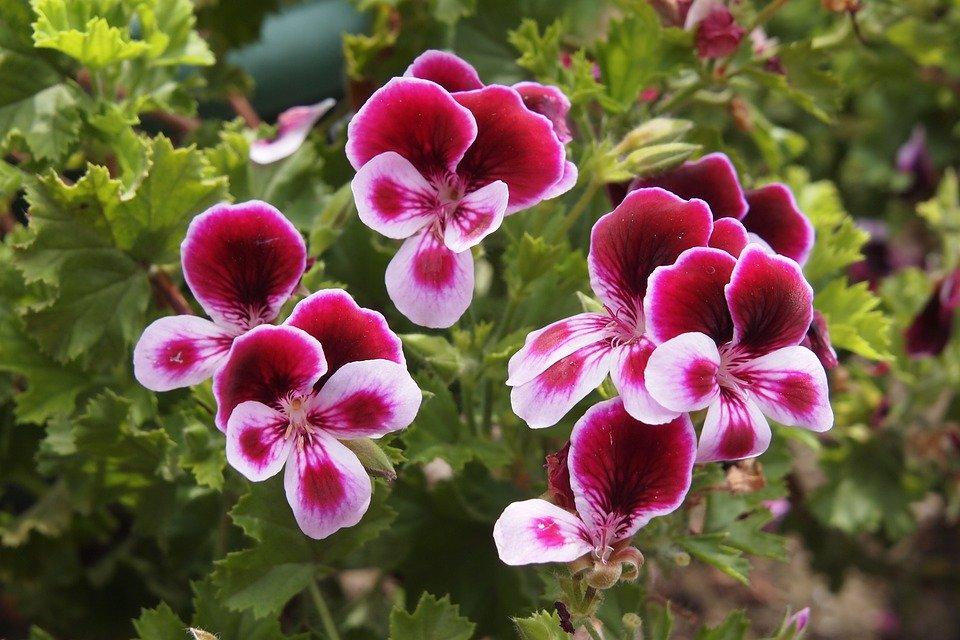 Geranium Pelargonium-vivaces-fleurs-les-plus-faciles-entretien