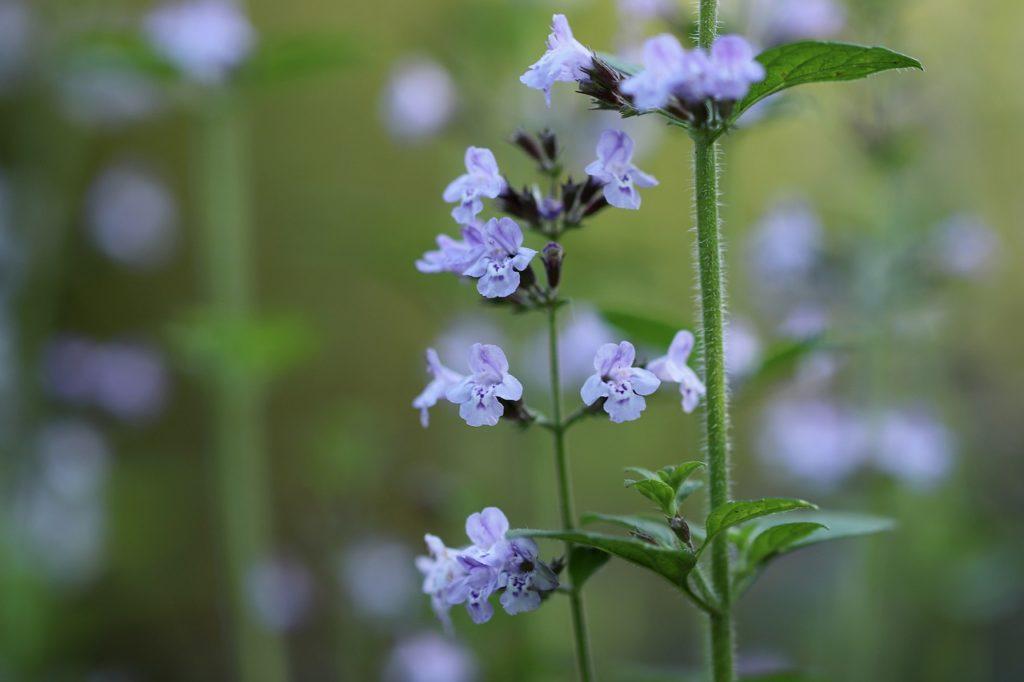 clinopodium-nepeta-vivaces-fleurs-les-plus-faciles-entretien