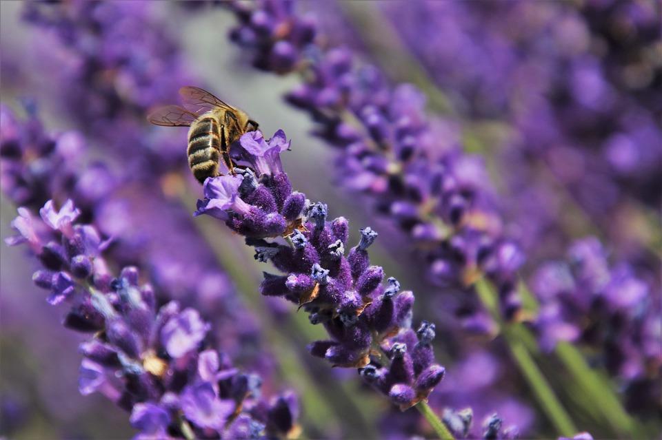 lavende-lavenda-vivaces-fleurs-les-plus-faciles-entretien